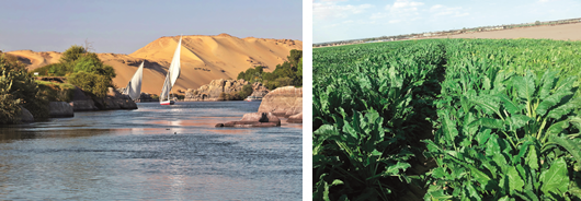 Right: Beet cultivation in the Nile delta