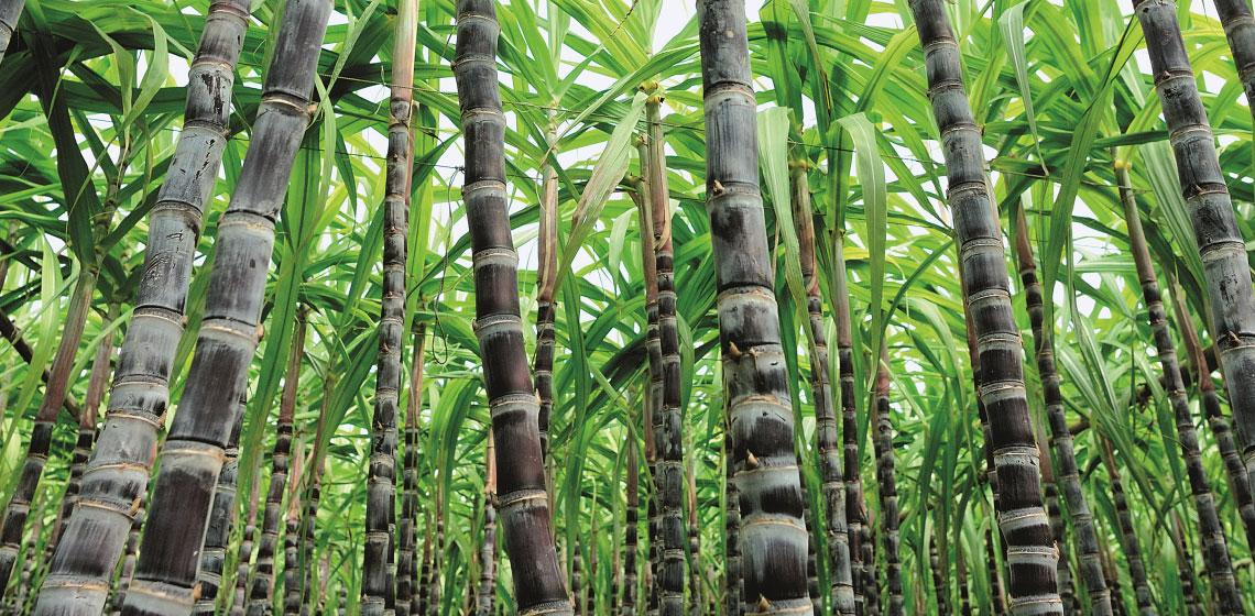 Cane sugar know-how